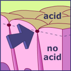 Tight junctions (arrow) between the epithelial cells act as a seal to prevent acid from seeping between the cells and into the stomach lining.